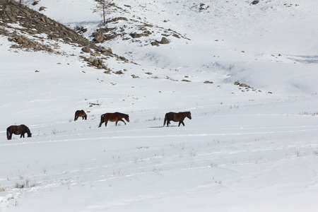grazed: Horses are grazed on a snow glade among mountains in the early spring