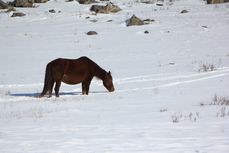 glade: Horse grazed on a snow glade in the early spring
