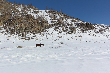 grazed: Horse  grazed on a snow glade among mountains in the early spring