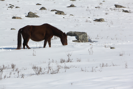 brute: Horse grazed on a snow glade in the early spring