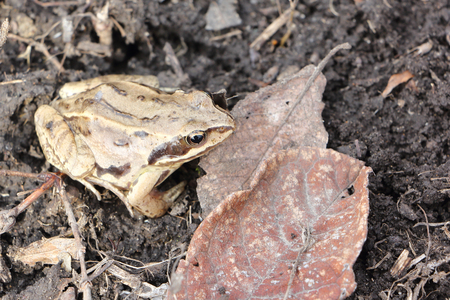 anuran: The frog sitting on the earth among dry leaves