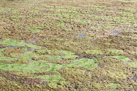 mire: Algae on a boggy surface of a pond