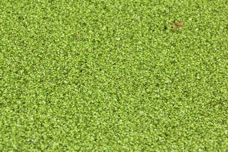 duckweed: Duckweed on a boggy surface of a pond Stock Photo