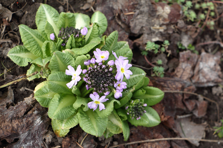 glade: Flowers and buds of a spring primrose on a forest glade