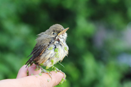 Wet baby bird of a thrush in a duckweed sitting on a finger