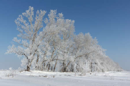 glade: Trees in hoarfrost standing on a snow glade in the winter