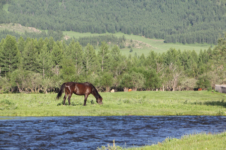 are grazed: The horse is grazed at the mountain river, Russia, Altai