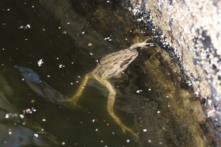 muddy: The frog floating in a muddy pond