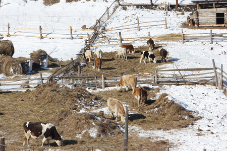 dry cow: The cows who are grazed on a farm in the early spring