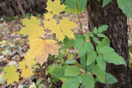 Yellow leaves of the Canadian maple against the background of the fallen foliage Stock Photo