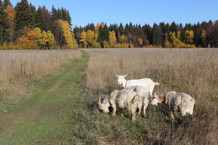 are grazed: Goats are grazed on a meadow in the fall Stock Photo