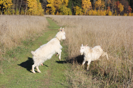Two goats butt on the forest road