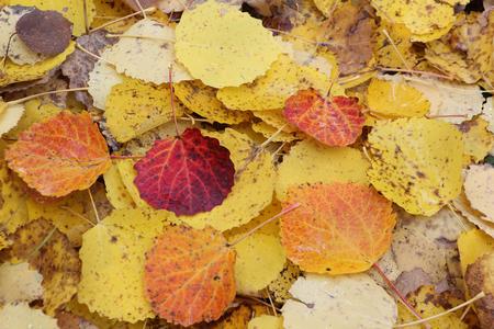 Fallen leaves of an aspen in the fall Stock Photo