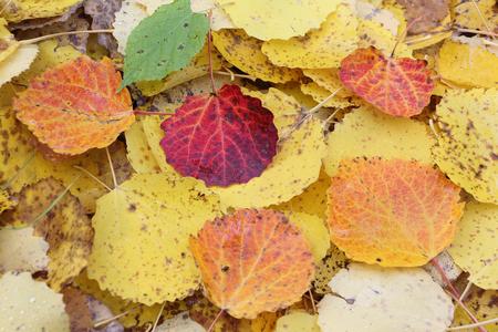 aspen tree: Fallen leaves of an aspen in the fall Stock Photo