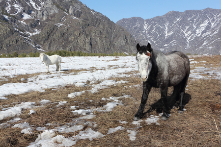 Horses are grazing on a snow glade among mountains in the early spring, Altai, Russia