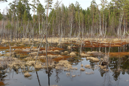 Bogging of a pond among the spring wood, Siberia, Russia Stock Photo