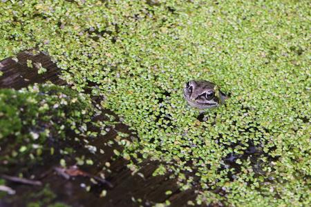 Frog in the swamp among duckweeds