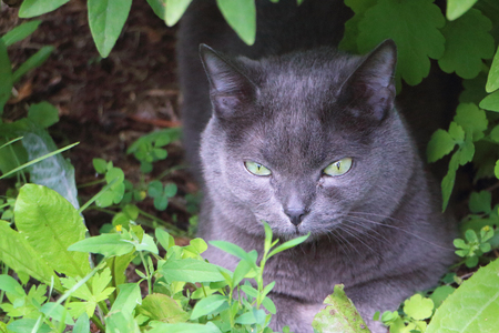 British Shorthair Cat lying in the grass Фото со стока