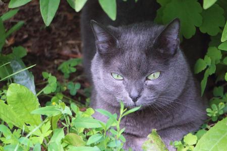 British Shorthair Cat lying in the grass Фото со стока