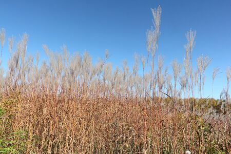 sway: Feather grass on the background of the blue sky in autumn Stock Photo