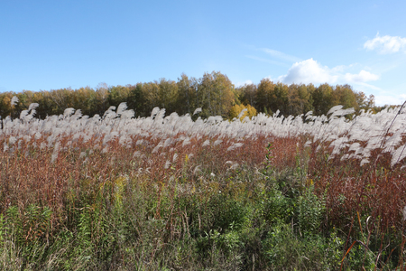 arboleda: Feather grass against the background of the sky and trees in autumn