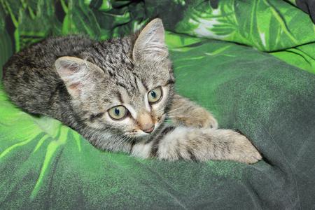 Little gray house kitten lying on a green background Фото со стока - 94579589