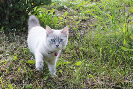 White cat with blue eyes walking on the grass Фото со стока - 94618680
