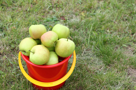 Ripe apples in a red bucket on the grass in the summer garden