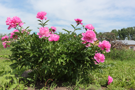 Bush of pink peony in the summer garden