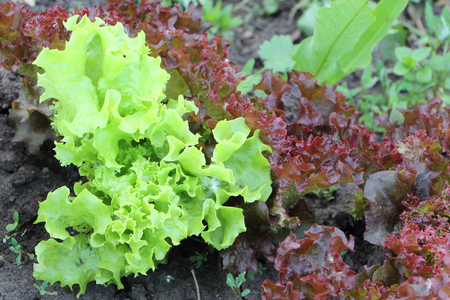 Green and red lettuce in the garden 写真素材 - 119686405