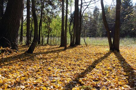 Leaf fall in the autumn forest in backlit , Perm region, Russia