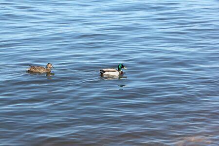 Ducks swimming in the river, Kama River, Perm city, Russia
