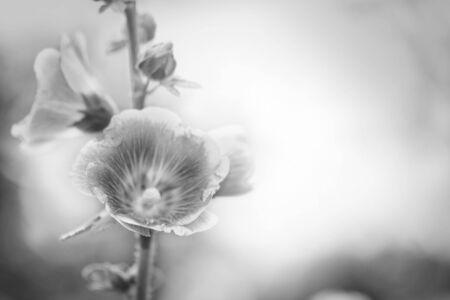jarret: Fleurs de houx Hock (rose tr�mi�re) rose, style pastel vintage r�tro fond doux