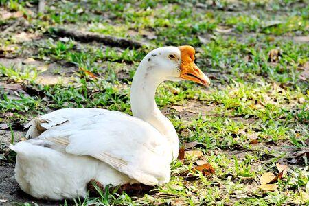 shady: Goose heat under a shady tree