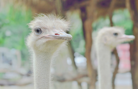 close-up of head of ostrich