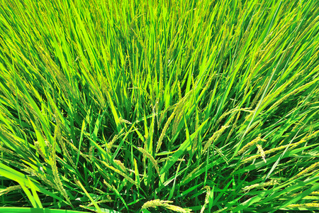 aerial view of green rice field Stock Photo