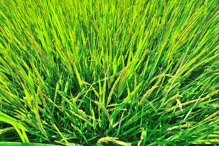 aerial view of green rice field Standard-Bild