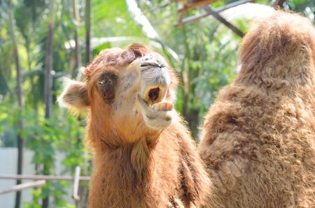 camel open mouth to scream Standard-Bild
