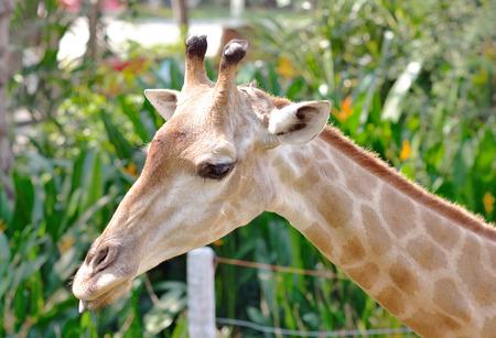 Closeup of Giraffe