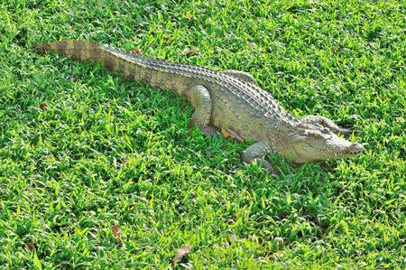 crocodile sunbathing on the glass green