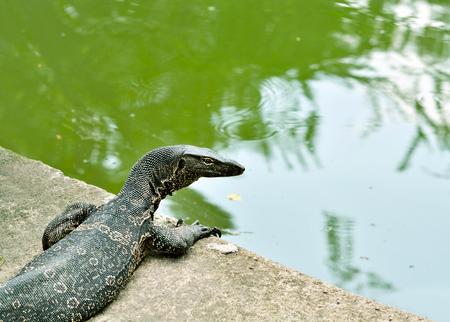 Water monitor lizard in the lake