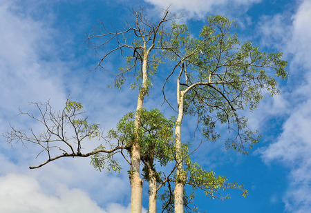 Top high trees on the background of the blue sky
