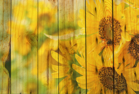 Double explosure sun flower with wood background