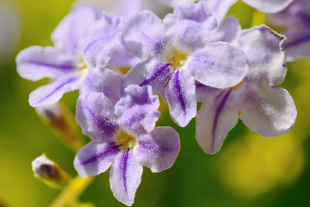 Blooming lilac flowers.Solf fous Macro photo. Stock Photo