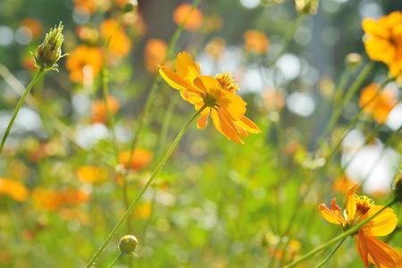 beautiful yellow flowers,solf and blure bakground