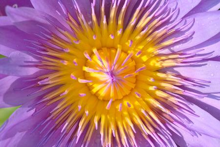 Closeup shot for violet beautiful lotus.
