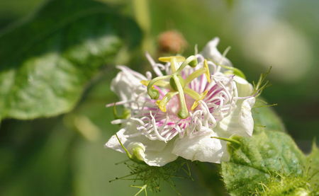 Passiflora foetida blossuim spring Standard-Bild