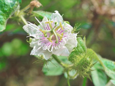 fetid: Passiflora foetida blossuim Stock Photo