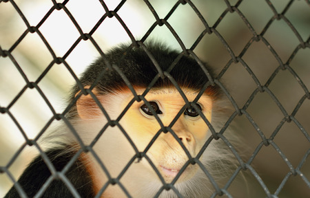 Leaf Monkey,Red-shanked Douc (Pygathrix nemaeus) in the cage,