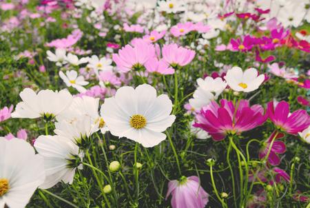 Cosmos flowers blooming in the garden,vintage image Standard-Bild